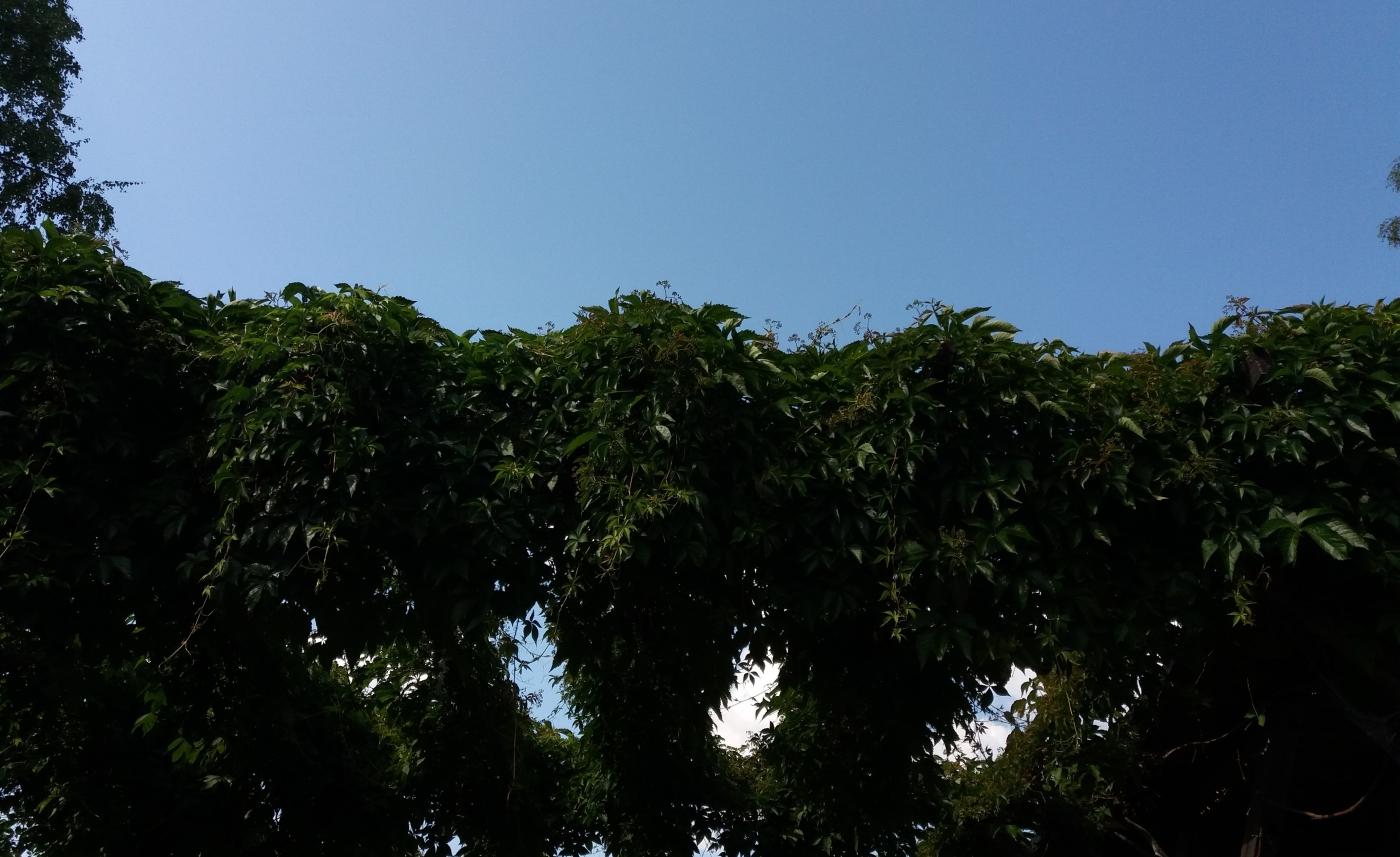 taivasta vasten näkyvä katos, joka on peittynyt villiviiniköynnöksiin